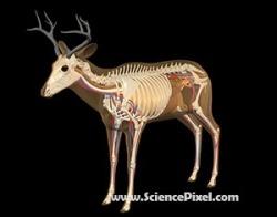 Hirsch Anatomie  / deer anatomy