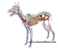 Hund Anatomie  / dog anatomy