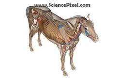 Pferd Anatomie  / horse anatomy