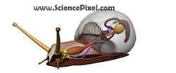 Schnecke Anatomie / snail anatomy