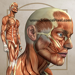 Anatomiegrafik / anatomy graphic