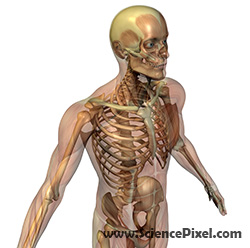 Skelett mit transparenter Muskelschicht / skeleton with transparent muscles
