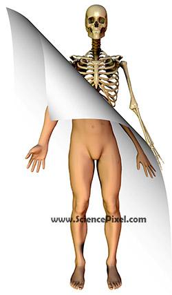 Anatomy Mann / anatomy man