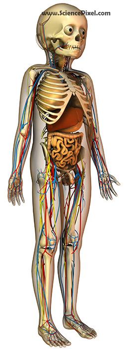 Anatomie des Kindes mit Organen/ child anatomy with organs