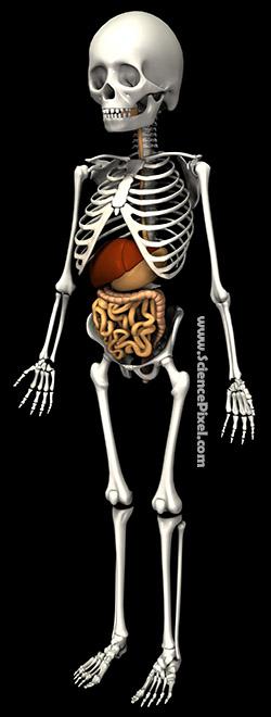 Anatomie Skelett Verdauung Leber / anatomy skeleton digestive liver