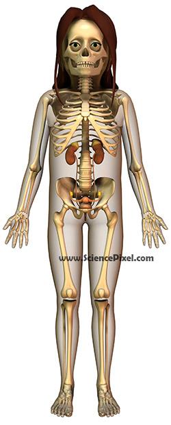 Anatomie Harnapparat weibliche Geschlechtsorgane / anatomy urinary female sex organs