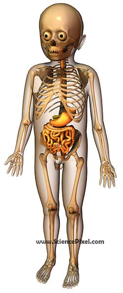 Anatomie Verdauung Skelett / anatomy digestive system skeleton